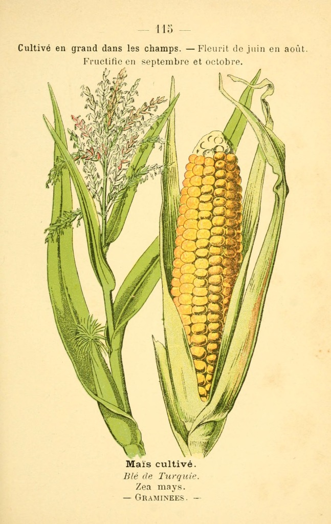 Corn Botanical Print