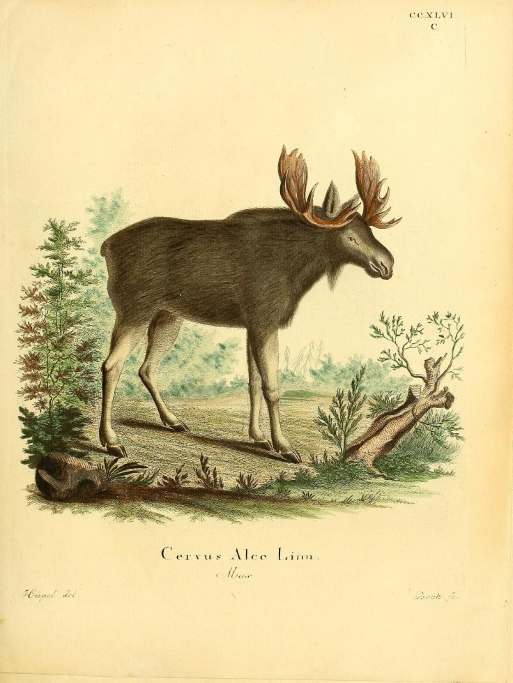 Moose Biodiversity Illustration