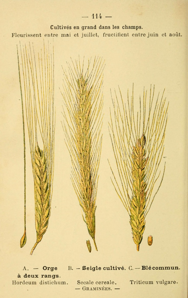 Wheat Botanical Print